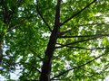 Ash tree Royalty Free Stock Photo