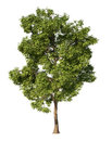 Ash tree without environment and shadow Stock Photos