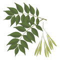 Ash tree leaves isolated on white background. Vector realistic illustration