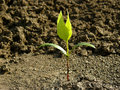 Ash tree seedling small with first true leaves Stock Photos