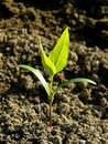 Ash tree seedling small with first true leaves Stock Photo
