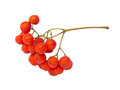 Ashberries Stock Images