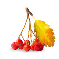 Ashberry Stock Image