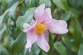 Ashton s pride hybrid camellia flower x of sasanqua santozaki and oleifera plain Royalty Free Stock Image