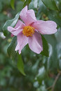 Ashton s pride hybrid camellia flower x of sasanqua santozaki and oleifera plain Royalty Free Stock Photo