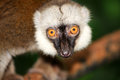 Asia brown lemurs Royalty Free Stock Photo