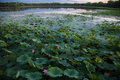 Asia China, Beijing, Old Summer Palace, lotus pond Royalty Free Stock Photo