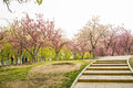 Asia chinese beijing yuyuantan park the flower garden cherry scenery city asian leisure and entertainment rippling blue waves many Stock Photo
