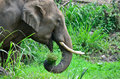 Asia Elephant eating grass Stock Images