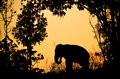Asia elephant in the forest at sunset Stock Photos