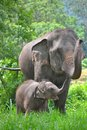 Asia elephant mother and baby in forest Royalty Free Stock Photo