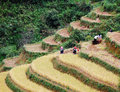 Asia farmers working on terraced rice fields Royalty Free Stock Photo