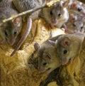 Asia Minor spiny mice Royalty Free Stock Photo