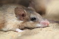 Asia minor spiny mouse lying on the grass Royalty Free Stock Photo
