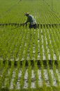 Asia rice agriculture a farmer tends his paddy crops in indonesia s regency of boyolali grains of paddy plant are the main diet of Royalty Free Stock Image