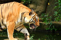 Asia tiger Royalty Free Stock Photography