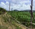 Asia. Vietnam. Fields Of Sugar...