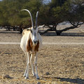 Asian antelope in Hai-bar nature reserve, Israel Stock Images