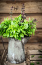 Asian basil in old tin jug on wooden backfround Royalty Free Stock Photography