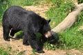 Asian black bear Royalty Free Stock Photos