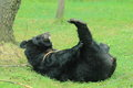 Asian black bear the adult swalloving in the grass Stock Photography