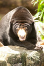 Asian black bear. Royalty Free Stock Photo