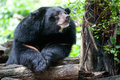 Asian black bear. Royalty Free Stock Photo