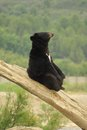 Asian black bear Royalty Free Stock Photo