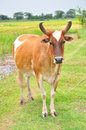 Asian Brown Cow Royalty Free Stock Images