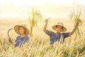 Asian children farmer on yellow rice field