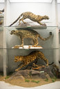 Asian china beijing national animal museum,animal specimens the museum science knowledge presentation show and ecological view Royalty Free Stock Photos