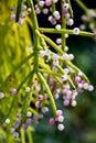 stock image of  The Asian Closeup Blooming Mistletoe Cactus