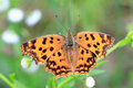Asian Comma butterfly Royalty Free Stock Photo
