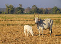 Asian cow and little calf in the grazing farm Royalty Free Stock Photo