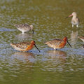 Asian dowitcher limnodromus semipalmatus bird is a rare medium large wader in mating plumage Royalty Free Stock Photography