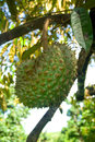 Asian durian fruit dub grown in the eastern and southern thailand has sweet taste Stock Images