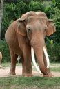 Asian elephant Stock Photos