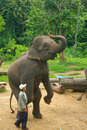Asian Elephant Royalty Free Stock Photos