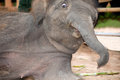 Asian elephant baby dance is joyfully near mother Royalty Free Stock Image