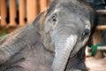 Asian elephant baby dance is joyfully near mother Stock Image