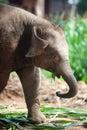 Asian elephant baby is joyfully near mother Stock Photos