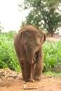 Asian elephant baby is joyfully near mother Royalty Free Stock Photo
