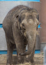 Asian elephant baby is smiling Royalty Free Stock Photo