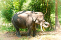 Asian Elephant In Burma Royalty Free Stock Photo