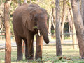 Asian elephant on chain  in the zoo Royalty Free Stock Photo