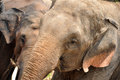 Asian Elephant eating hay Royalty Free Stock Photo