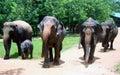 Asian elephant in elephant Orphanage of Sri Lanka