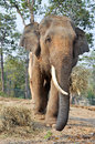 Asian elephant elephants smaller than their african cousins are highly endangered Royalty Free Stock Images