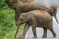 Asian elephant elephas maximus beautiful family of at khao yai national park thailand Stock Image