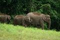 Asian elephant elephas maximus beautiful family of at khao yai national park thailand Royalty Free Stock Photography